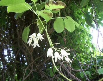 ムベの花16