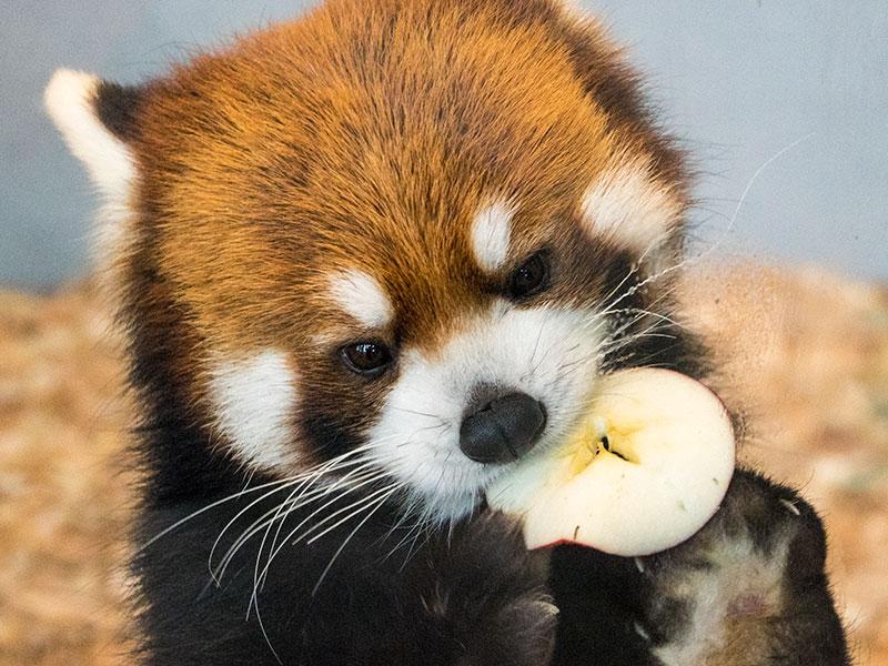 果物を食べるレッサーパンダ