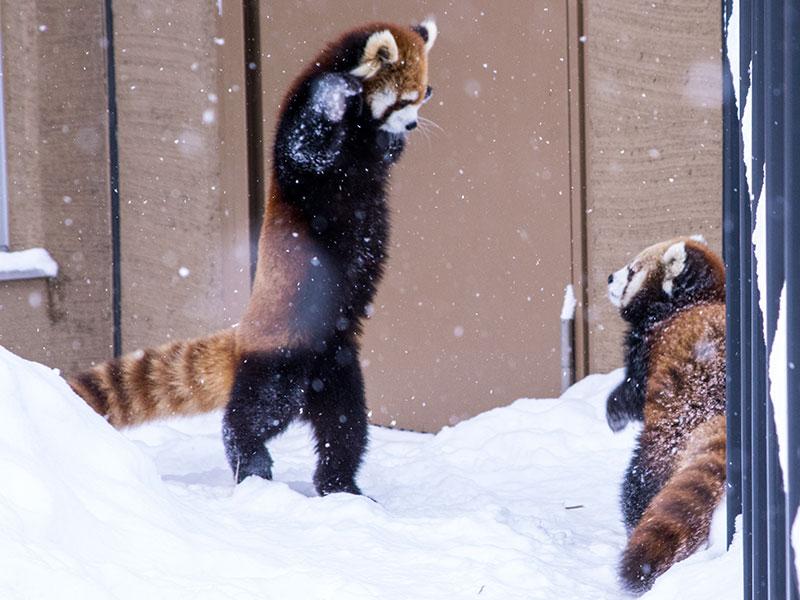 レッサーパンダのキンがホクトを攻撃