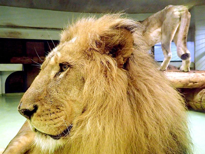 ライオンのリッキー