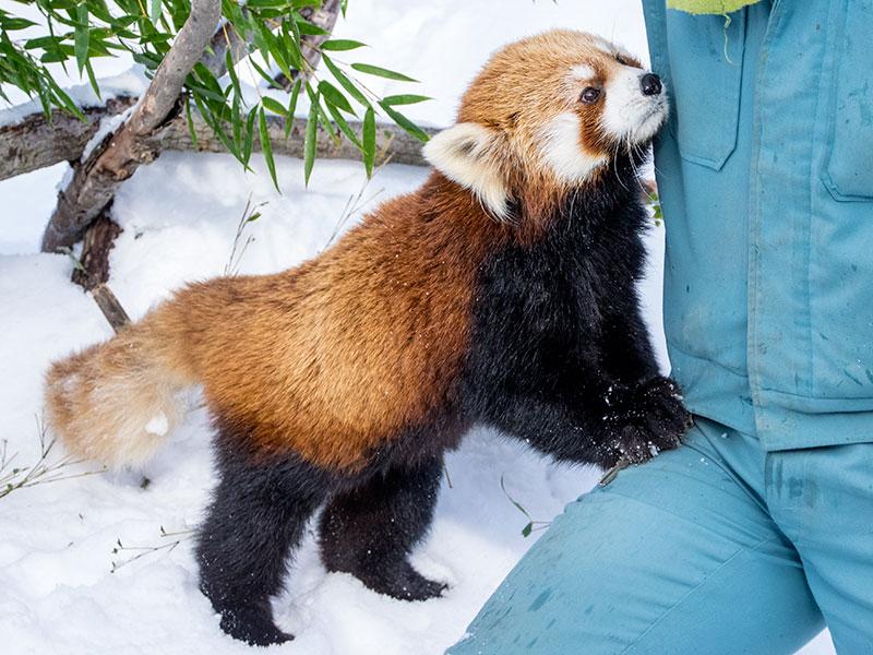 レッサーパンダのココ