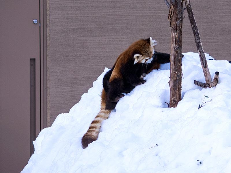 レッサーパンダのエイタとギン