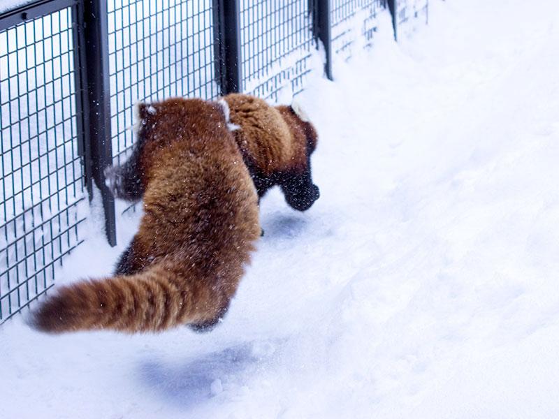 レッサーパンダのココとホクト