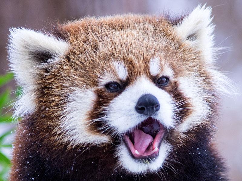 円山動物園(レッサーパンダのホクト)