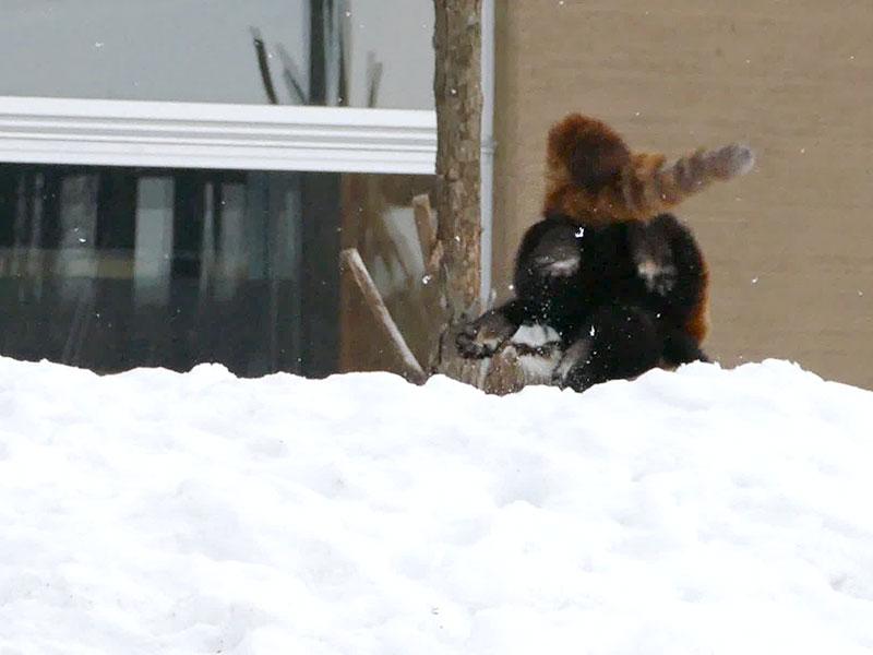 レッサーパンダのキンとホクト