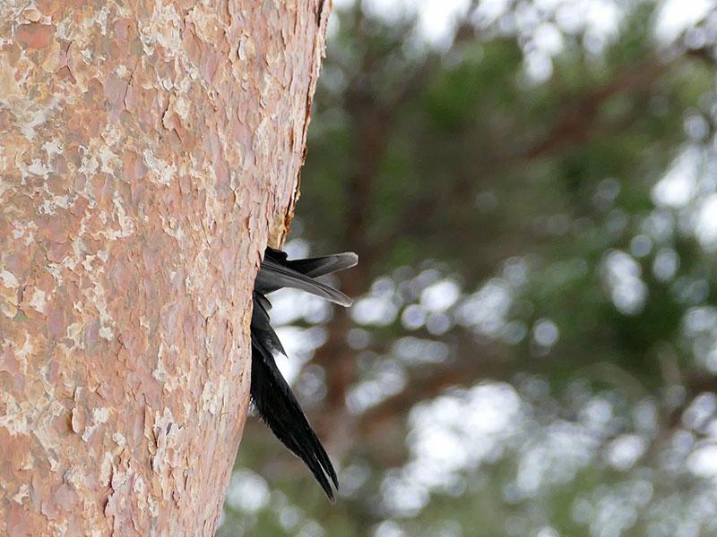 クマゲラ at 円山動物園