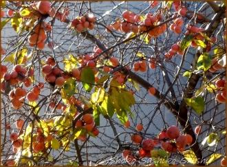 20131217 1本の柿の木 2 冬のいろどり