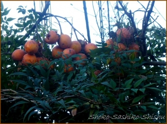 20131217 柿 1 冬のいろどり
