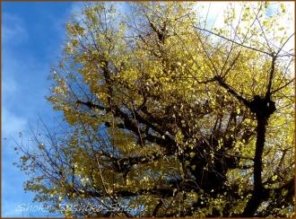 20131217 青空と銀杏 冬のいろどり
