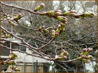 20150322  桜 1  春を見つけ