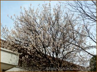 20150322  寒桜  春を見つけ