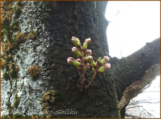 20150322  桜 5  春を見つけ