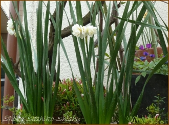 20150322  水仙  春を 見つけ