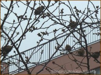 20150322  雀 1  春を見つけ
