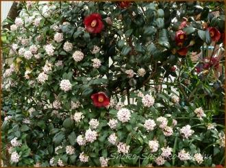 20150322  沈丁花  春を 見つけ