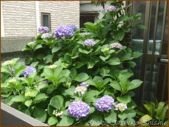 20150525 紫陽花 3  階段と紫陽花