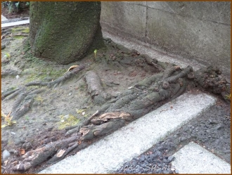 20150529  木の根 1  桜の下
