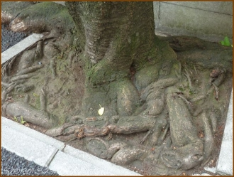 20150529  木の根 4  桜の下