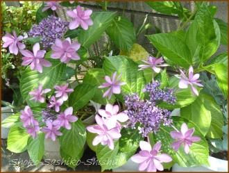20150613 ガク状 1  真花紫陽花