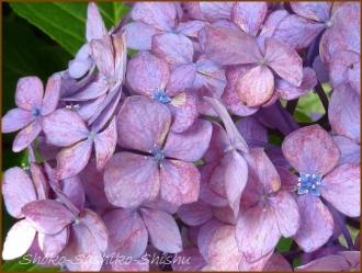 20150613 球状 2  真花紫陽花