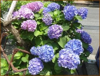 20150613 球状 3  真花紫陽花