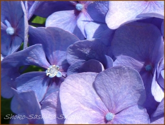 20150613 球状 4  真花紫陽花