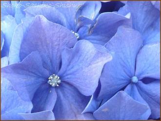 20150613 球状 7  真花紫陽花