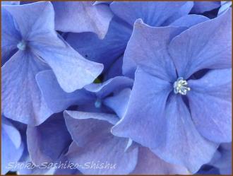20150613 球状 8  真花紫陽花