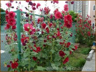 20150615 タチアオイ  紫陽花