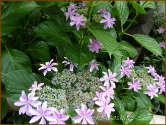 20150615 紫陽花 1  紫陽花