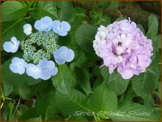 20150615 紫陽花 2  紫陽花