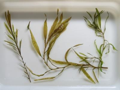 ヤナギモ-エビモ草体比較