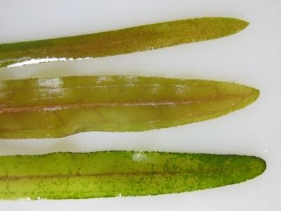 ヤナギモ、エビモとの葉比較