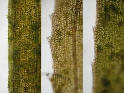 ヤナギモ、通常のエビモとの葉縁比較