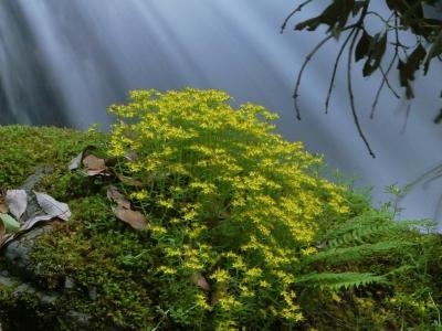 渓流畔のヒメレンゲ