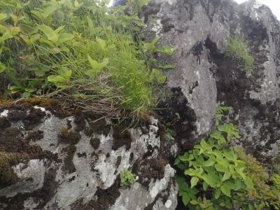岩稜上の植生1