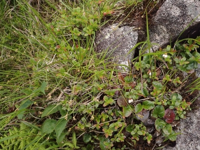 岩稜上の植生2