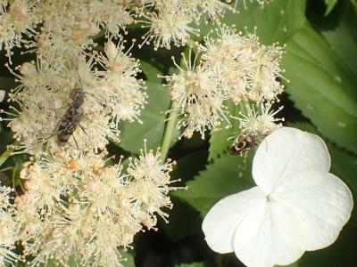 ツルアジサイの訪花昆虫