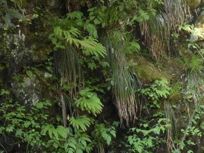 渓畔岩上の新緑