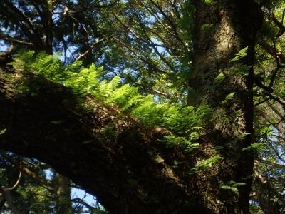 樹上のシノブ