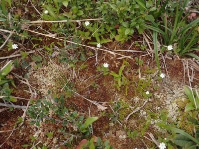 オオミズゴケ群落中のツマトリソウ