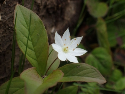 ツマトリソウの花