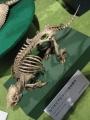 ムツオビアルマジロの骨格