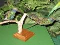 南米のハチドリ