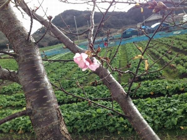 お花 4_JALAN_150117
