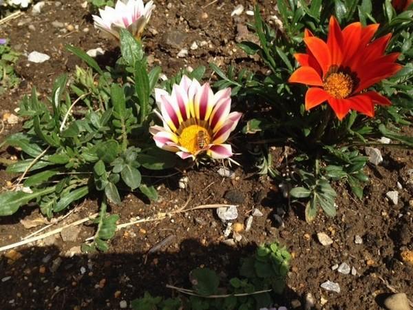 ハチとお花_JALAN_150322