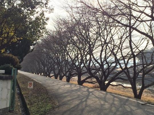 20150215_sakura_001.jpg