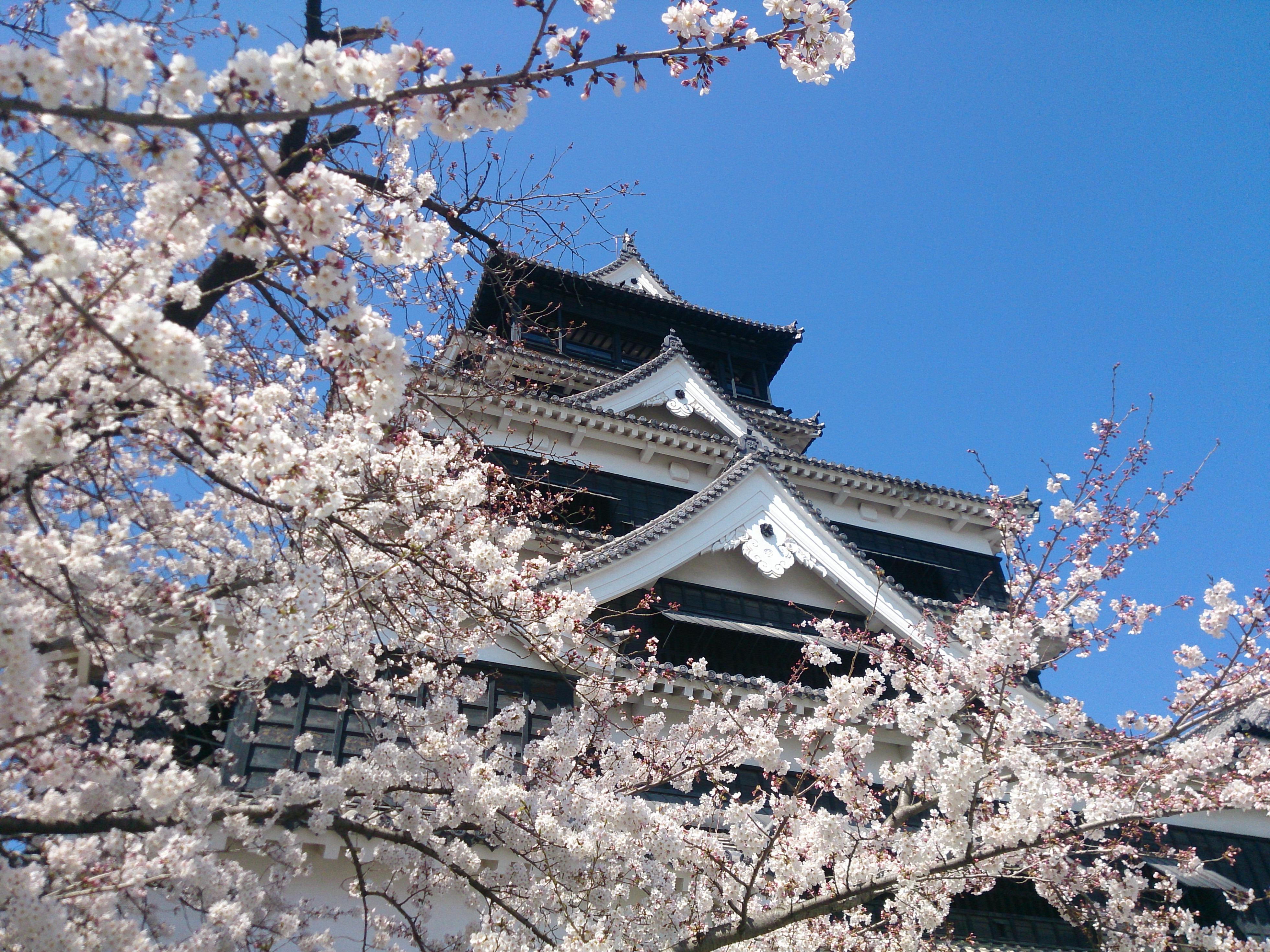 熊本城さくら5 2015