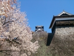 熊本城さくら1 2015