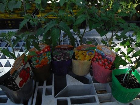 20150328ミニトマト